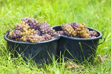 Weinernte in Tschechien